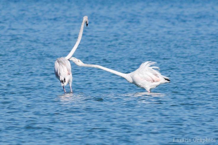 08/03/2017. Όταν τα  Flamingo ερωτοτροπούν και χορεύουν στις λιμνοθάλασσες της Λευκάδας.