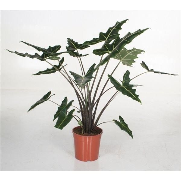 Alocasia 'Sarian' exotic house plant in 24cm pot.  100cm tall foliage plant