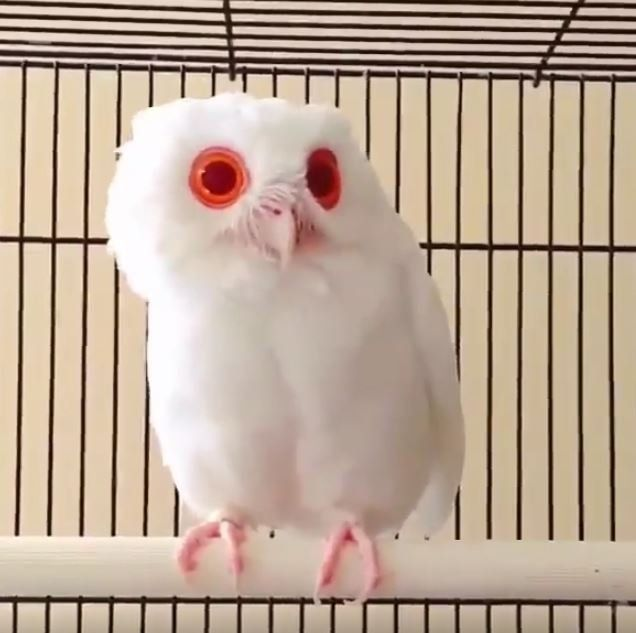 This Rare White Owl Has Been Found, And It Has The Most Mesmerizing Eyes We've Ever Seen.