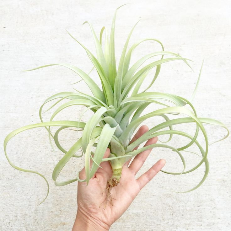23 best Tillandsia images on Pinterest | Air plants, Beautiful and ...