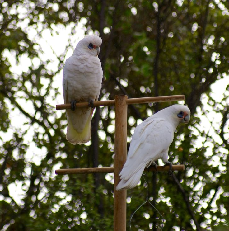 Visitors to my garden 2. Corellas chilling on the bird feeder