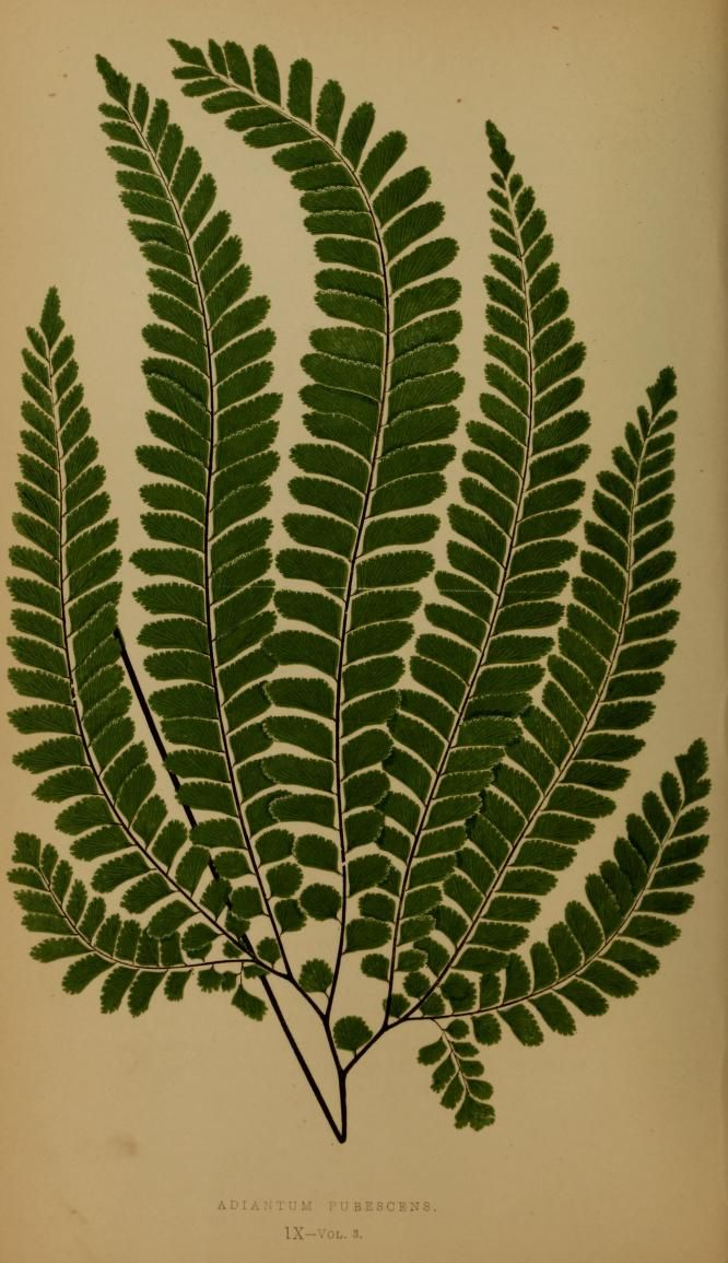 Adiantum Pubescens - Ferns: British and exotic... - Biodiversity Heritage Library