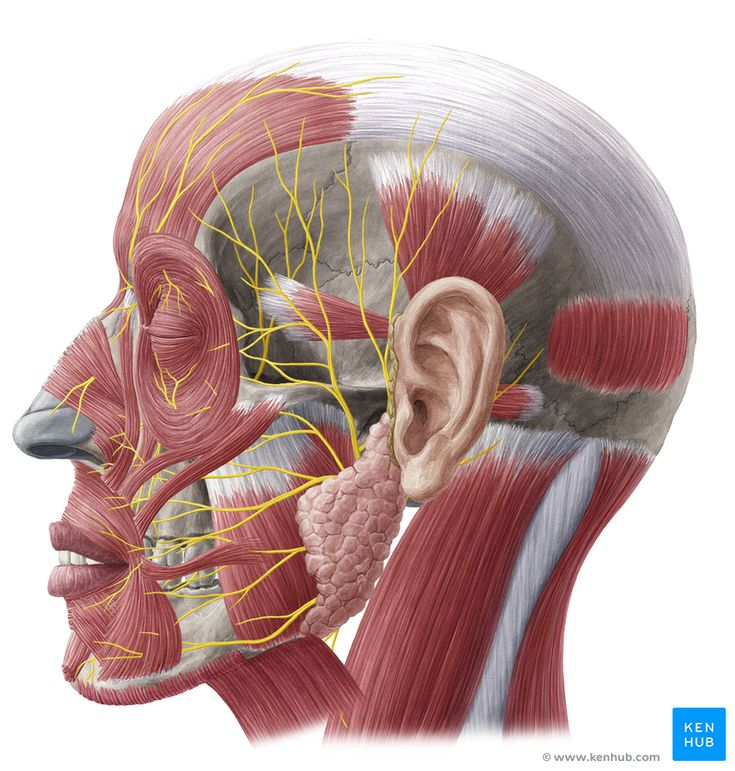 This is an article introducing the 12 cranial nerves. Learn here where do you find the nerves which supply the head, neck and internal organs.