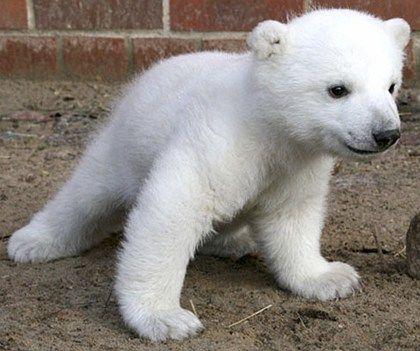 polar bear cubs   Polar bear cub Knut has become a sensation in Berlin since he was born ...