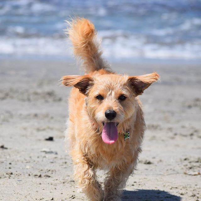 【terrytheterrier01】さんのInstagramをピンしています。 《Sandy sunday🏖 🐾 日曜日は楽しいね🐾 🐾 🐾 🐾 #dogbeach #beachdog #beachday #happydog #rescuedog #terriermix #mutt #scruffysquad #sandiegodog #ilovemydog #bestwoof #terrier #sundayfunday #海 #ビーチ #わんこ #ミックス犬 #テリアミックス #元保護犬 #テリア》