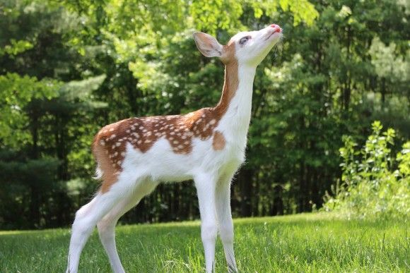 "A rare piebald fawn is being taken care of by Deer Tracks Junction in Cedar Springs, Michigan after being born there. ""Dragon"" was rejected by his mother because in the wild he would have a low chance of survival. Only 1% of whitetail fawns are piebalds, deer with large patches of unpigmented skin."