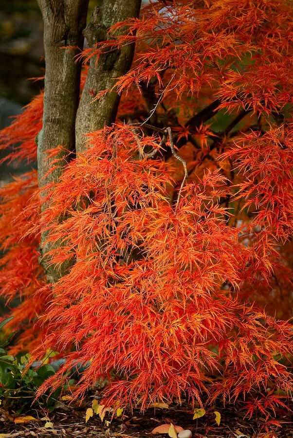 Vegetable Garden In Fall Wallpaper 20 Best Acer Japanese Maple Images On Pinterest