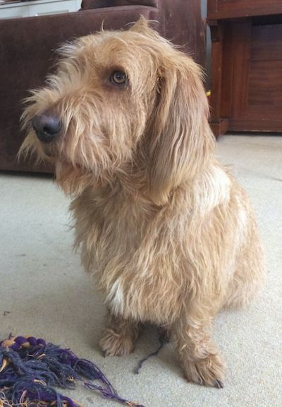 Barnie the Basset Fauve de Bretagne sitting on a carpet in front of a rope toy