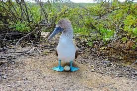 Image result for blue footed booby