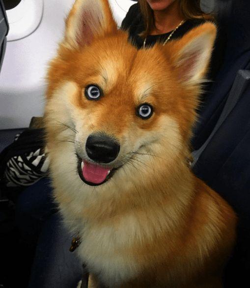 Et voilà ce que donne un croisement entre un husky et un loulou de Poméranie <3Pour rappel, les loulous de poméranie sont très connus depuis que l'un d'entre eux, Boo, est devenu le chien le plus célèbre au monde \^o^/ May parviendra t-elle à lui voler la vedette ? Nous n'en sommes pas encore là [&hellip