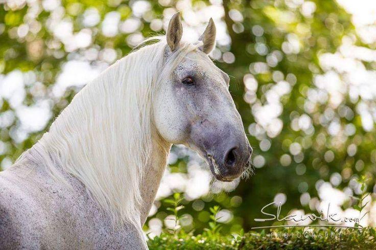 – Starokladrubský kůň. #kladruber #white #grey #horse #summer #green
