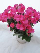 Juleglede (Begonia cheimantha) kalles også Julebegonia.  Hører til begoniafamilien / Begoniaceae