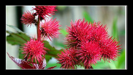 Ricinul (Ricinus communis) este un arbust oleaginos, din familia Euphorbiaceae și singurul reprezentant al genului Ricinus. Este originar din regiunile tropicale și subtropicale (India și Africa), unde trăiește ca plantă sempervivescentă. În climatul temperat este cultivat ca plantă...