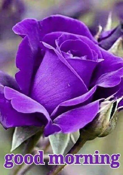 Best 25 good morning flowers ideas on pinterest - Good morning rose image ...