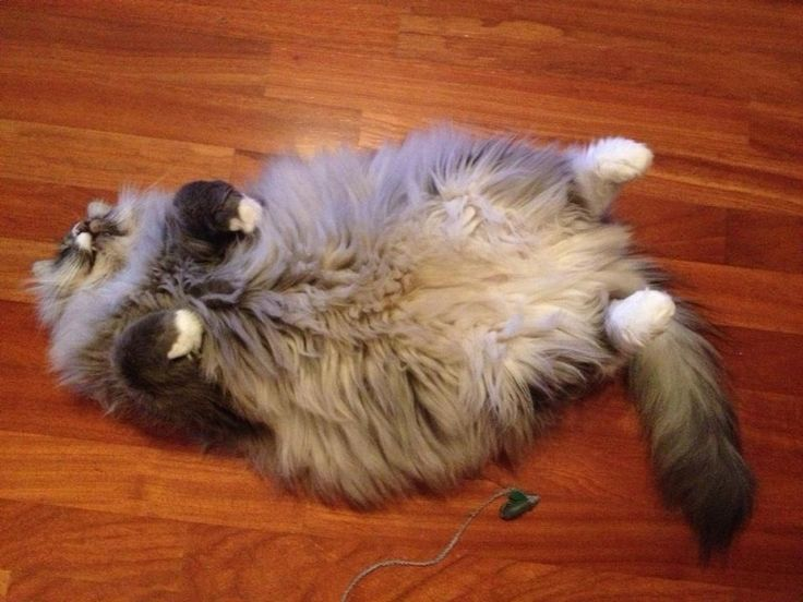 116 Best Images About Norwegian Forest Cats On Pinterest