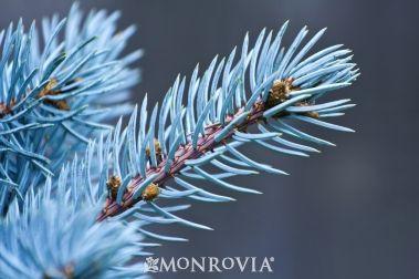Family Pinaceae; Genus Picea; Species pungens 'Thompsenii'; Thompsen's Blue Spruce, Thompsen's Colorado Spruce