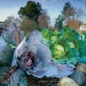How to grow cabbages in hot climates.  http://www.vegetable-garden-guide.com/growing-cabbage.html