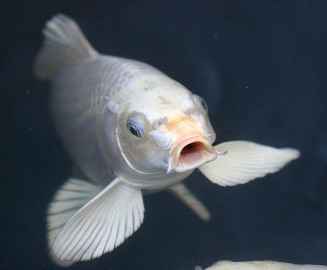 Koi fish buttefly koi japanese koi fish koi fish and for Cool koi ponds