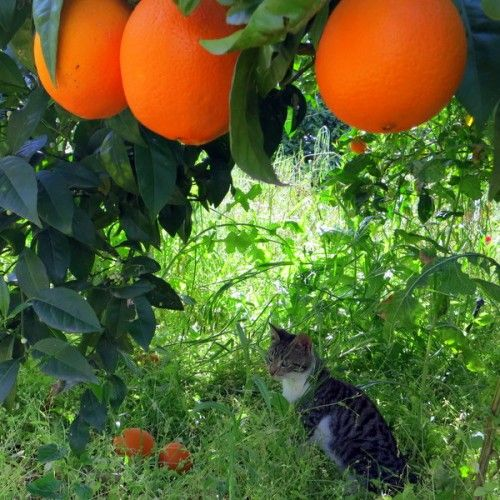 orange fruit tree greece - Google Search