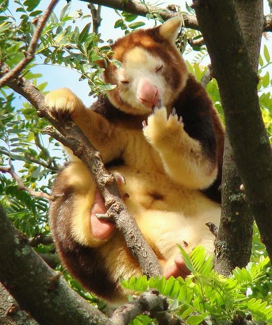 Tree Slothabeary fuzzy animal thingamajigger. Licking its fluffpaw with it's beary peckamage.