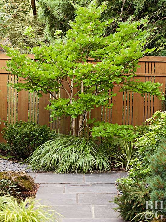 The lacy leaves of Japanese maple trees offer dappled shade and a pretty draping form. Trees range from 3 to 15 feeet. Tried and true varieties include Bloodgood, Full Moon, and Burgundy Lane. No matter what climate you reside in, there's a Japanese maple there for you.