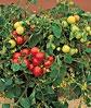 Tomato Tumbler Hybrid Tomato Plants For Sale Tomato 400 x 300