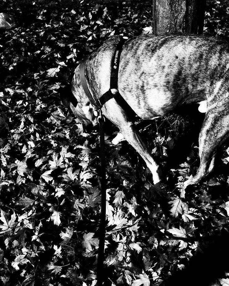 Bff #DougDog #AmStaff #vancitylife #dogsofinstagram #doglovers #photography #blackwhitephotography #noir_vision #simply_noir_blanc #hicontrast