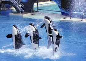 Orca Bill would ban SeaWorld orca shows! Please Everyone Vote YES! Richard Bloom is on Facebook, drop in to say hello & thanks! <3