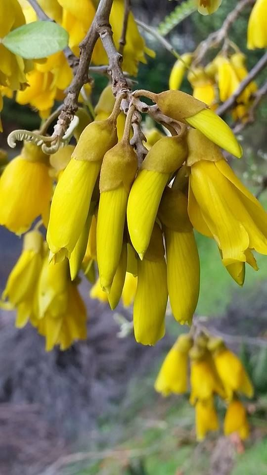 New Zealand Native tree Sophora sp, Kowhai @ Port Waikato www.facebook.com/plantpedia