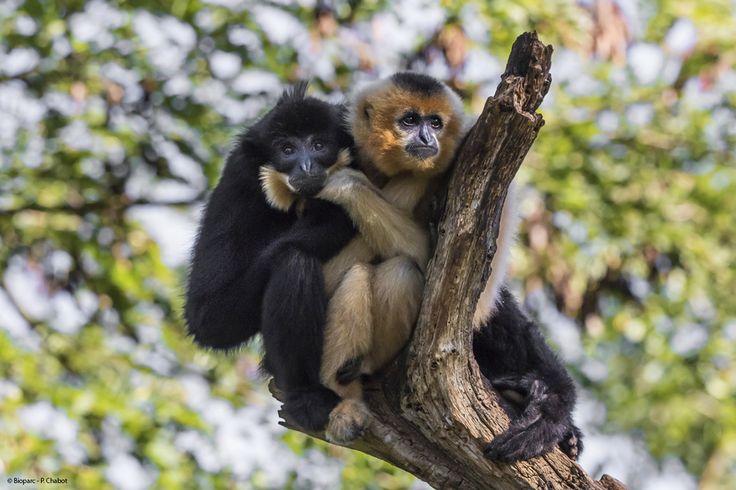 Le gibbon à favoris roux naît blond. Sa fourrure devient noire à 18 mois et seule la femelle retrouve sa couleur blonde à sa maturité sexuelle.