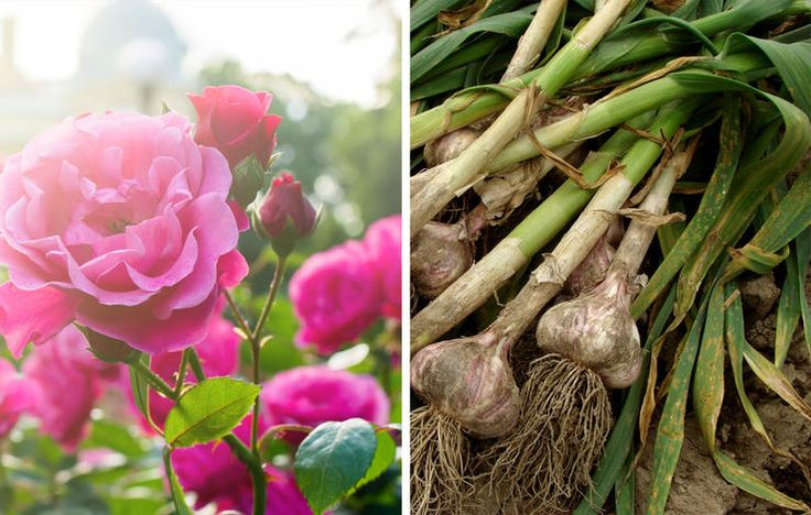 Для большого урожая: 26 растений, которые стоит сажать вместе