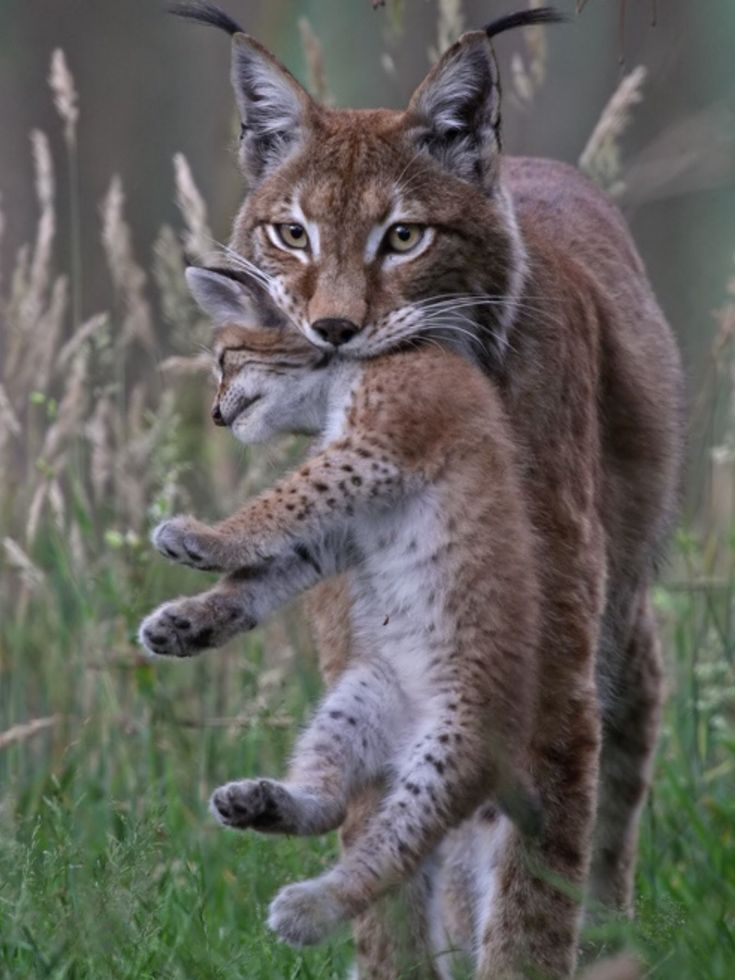 A beautiful Lynx-Mommy with cub! #babyanimalpics #BigCatFamily