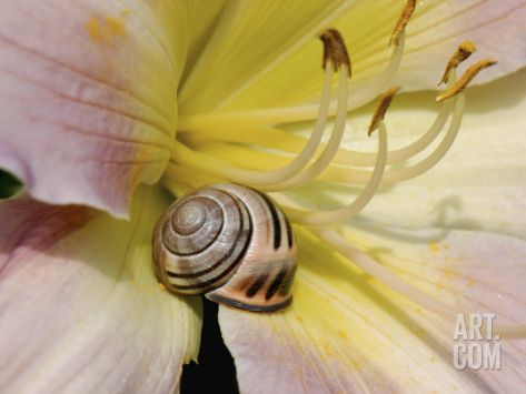 Brown-Lipped Banded Snail (Cepaea Nemoralis) on a Day Lily Photographic Print by Nigel Cattlin at Art.com