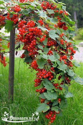 Как ухаживать за смородиной ранней весной, чем удобрить и как правильно подкормить, секреты и хитрости большого урожая, что нужно сделать, чтобы….