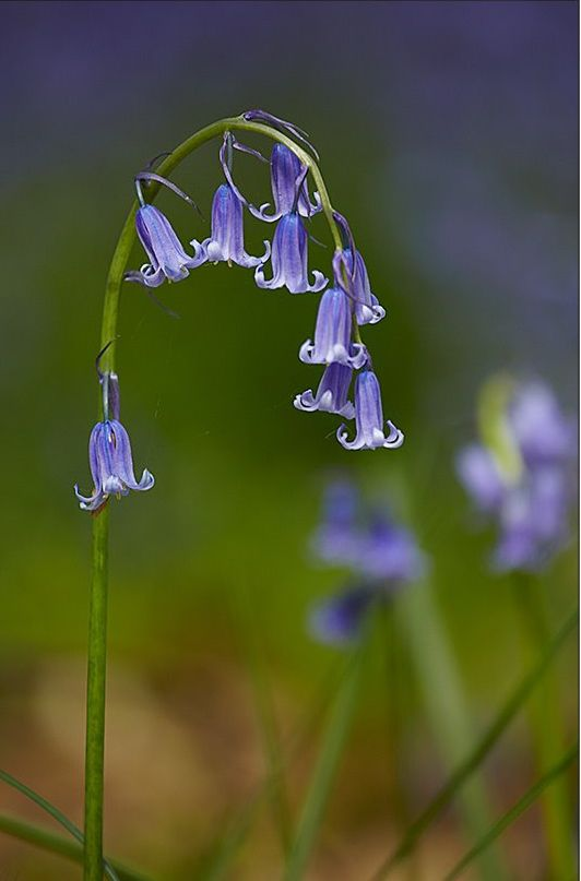 Lovely proper English bluebells - so dainty compared with the Spanish variety (which have thicker, straight stalks, and much more open bells).