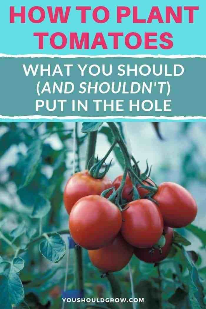 The Right Way To Plant Tomatoes Plant Tomatoes Tomato Plants Tomato Tomato Trellis