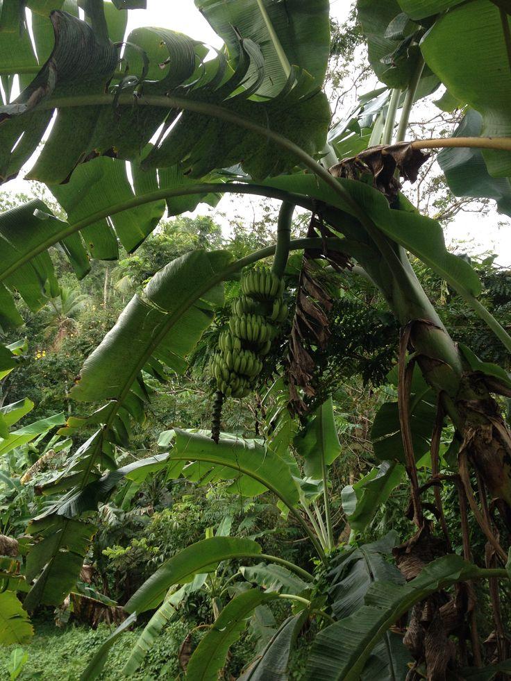bananen bij HomeStay Srilanka