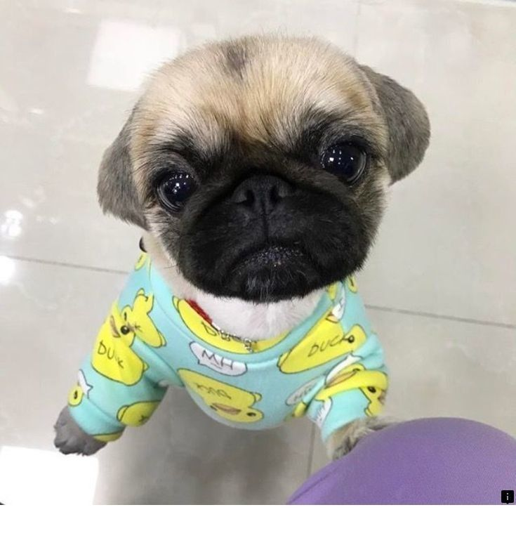 Just Click The Link For More Pug Breeders Simply Click Here To