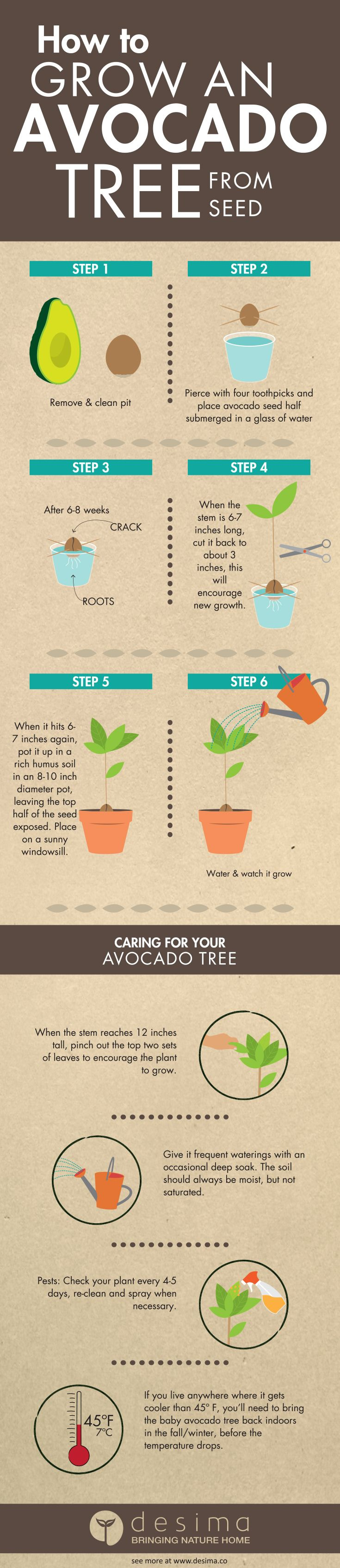 How_to_Grow_an_Avocado_Tree_From_Seed (735×3388)
