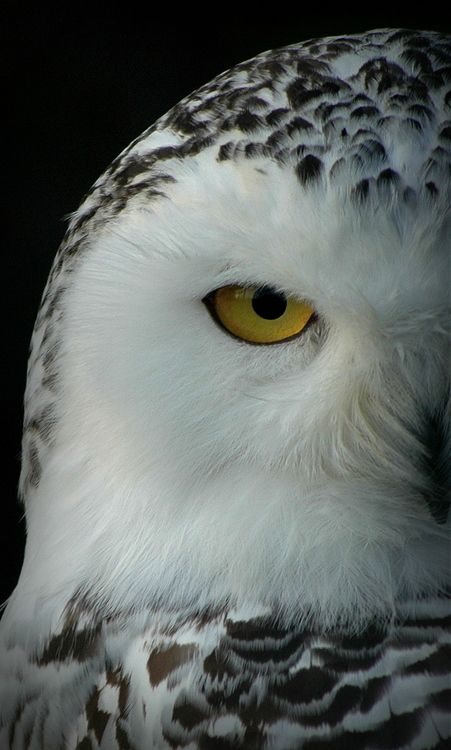 Snowy Owl | Submitted by:falco-tinnunculus - Bubo scandiacus or Nyctea scandiaca