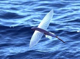saw a school of flying fish in the south pacific... before I got seasick