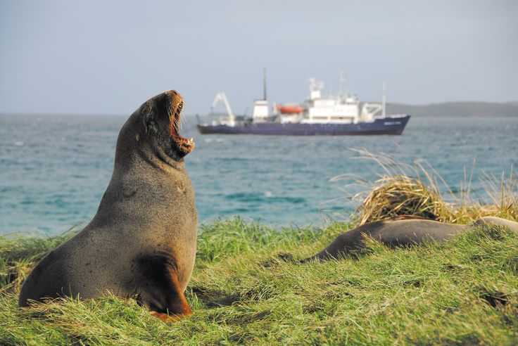A hungry seal eating the 'Spirit of Enderby' in the Sub-Antarctic Islands ©ARuss