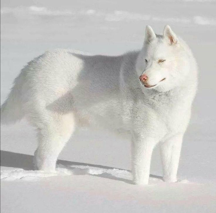 Things We Admire About The Bold Siberian Husky Siberianhuskypuppy