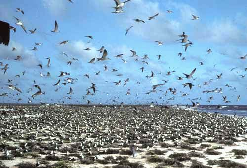 Large flock of Sooty Terns on beach in Jarvis Island, Territory of the United States