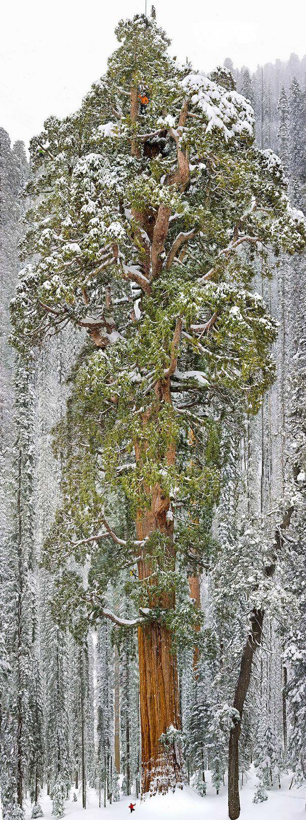 16 από τα ωραιότερα δέντρα του κόσμου ~ Ο Πρόεδρος , το τρίτο μεγαλύτερο δέντρο Σεκόγια στον κόσμο , Καλιφόρνια ΗΠΑ