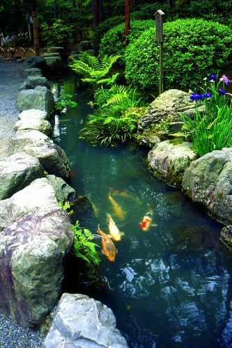 Coloful carps swimming in Japanese garden