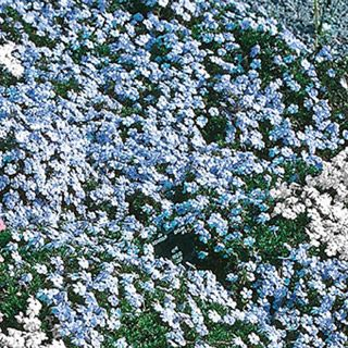 Sapphire Blue Carpet Phlox Phlox Phlox Reviews Seedratings