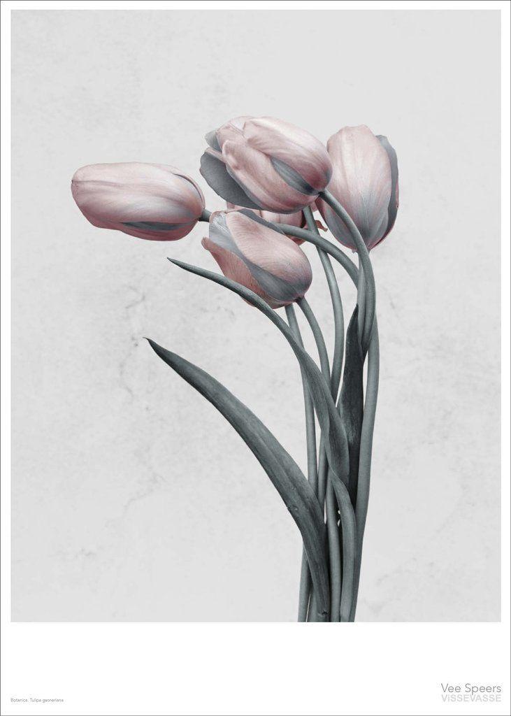 Vee Speers BOTANICA Tulipa Gesneriana