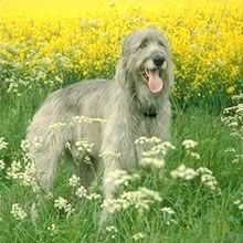since I am posting all things Irish....this Irish wolfhound is too cute!