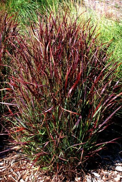 Panicum virgatum 39 shenandoah 39 switchgrass favorite for Perennial grasses red